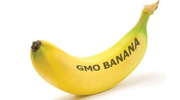 Can A GM Banana Solve Uganda's Hunger Crisis?