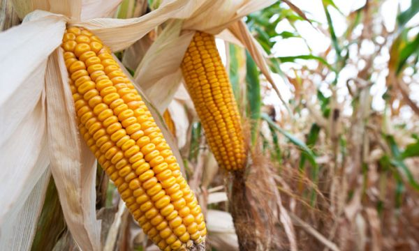 Are Genetically Modified Foods(GMOs) Safe?