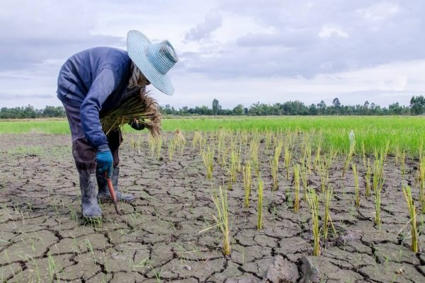Could GMO Crops Help Solve The Climate Crisis?