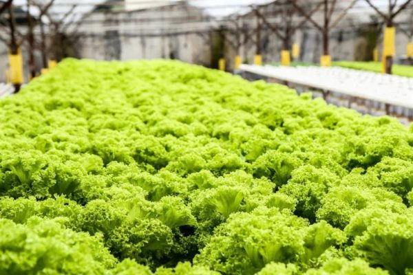 Is food grown hydroponically as healthy as soil-grown crops?