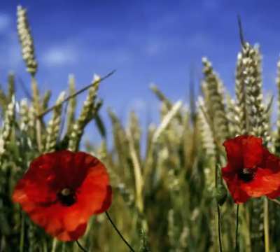 Genetically modified food a step closer in England as laws relaxed
